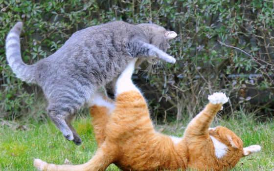 бой, котов, рыжий, кошек, серый, кошки,