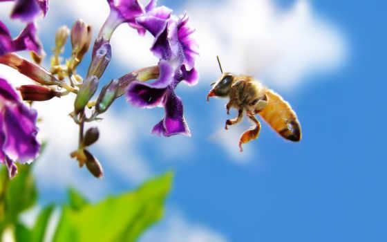 пчелка, цветы, мед