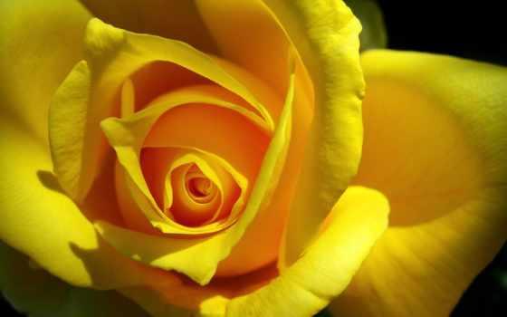 роза, желтая, solensemble