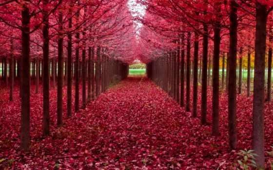дерево, листьями, деревьев, красными, ровные, ряды, осень, colorful, осенних, листья,