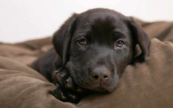 собаки, собака, dogs, песик, labrador, zhivotnye, veeo,