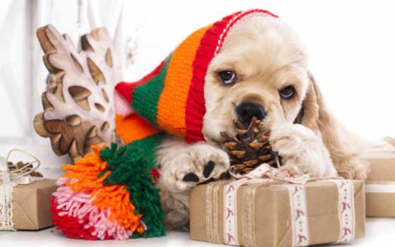cocker, spaniel, christmas, американский, stock, щенок, собака, шляпа, фото, photos,