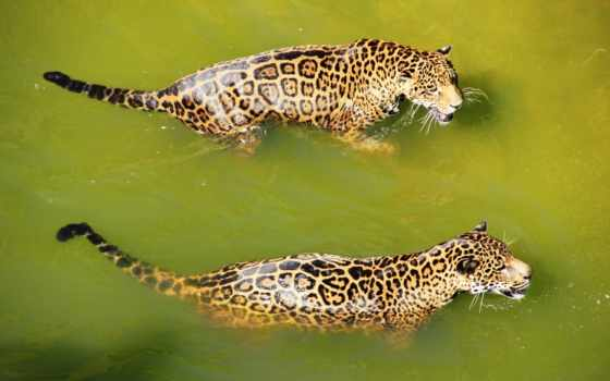 cats, animals, биг, ягуары, water, free, хищник, swimming, spots,
