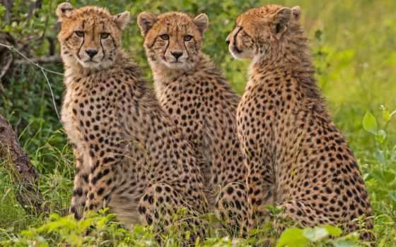 гепард, zhivotnye, animal, взгляд, гепарды, кот, картинку, смотрит, смотрят,