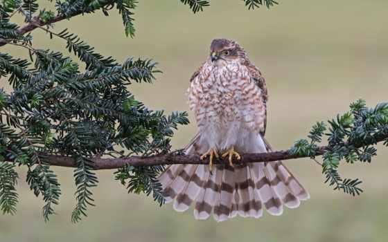картинка, hawk, птица, feathers, branch, фон, хищник, preview, tailed,
