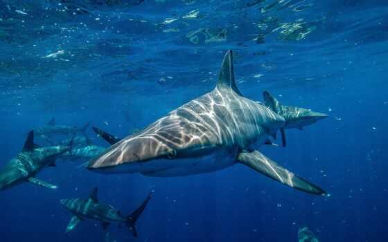 акула, bull, covy, который, тигр, water, craft, okazatsya, guilty