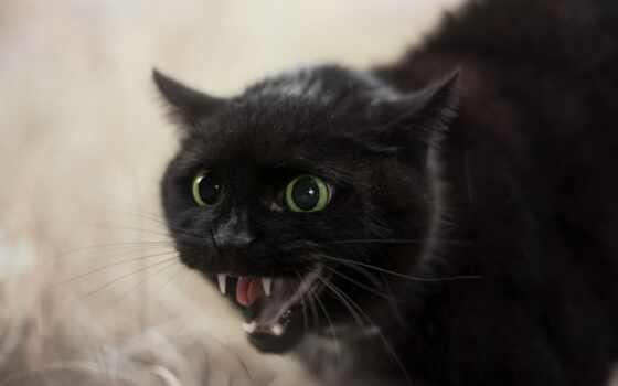 кот, black, hissə, черная, animal, фото, владелец, который, тв, крыса