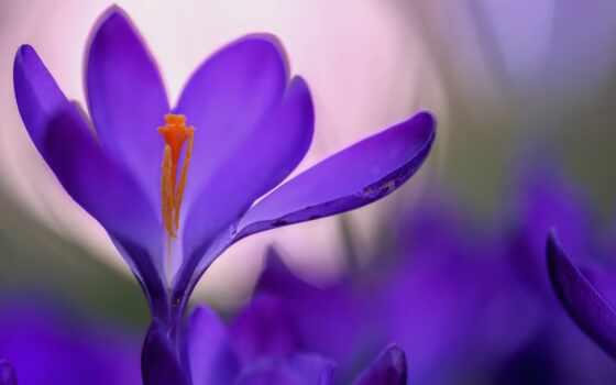 крокус, цветы, tommasinianus, индиго