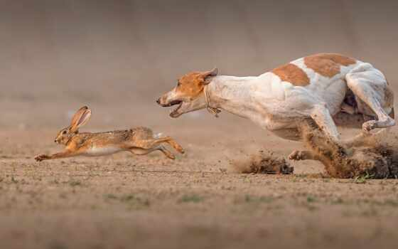 dog, race, марта