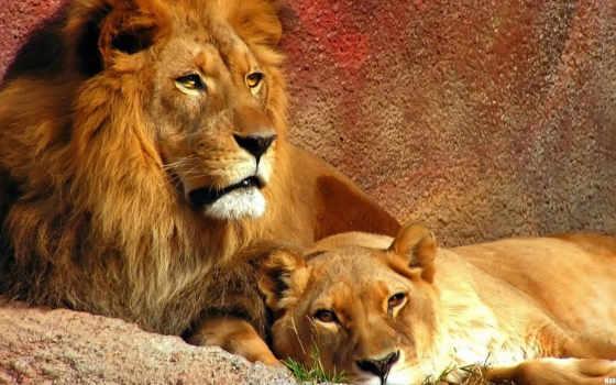 lion, львы, мультфильма
