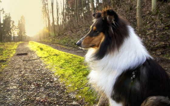 колли, собака, длинношерстный
