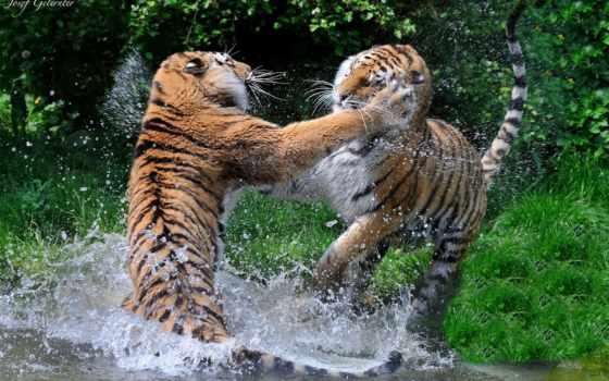дикие, тигры, кошки