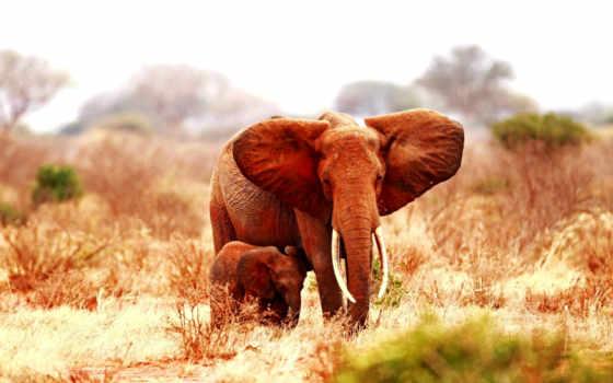 слон, baby, desktop, мама,