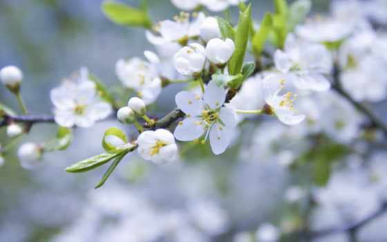 яблоня, весна, cvety, белые, branch, цветение, лепестки, бутоны, небо, природа, макро,