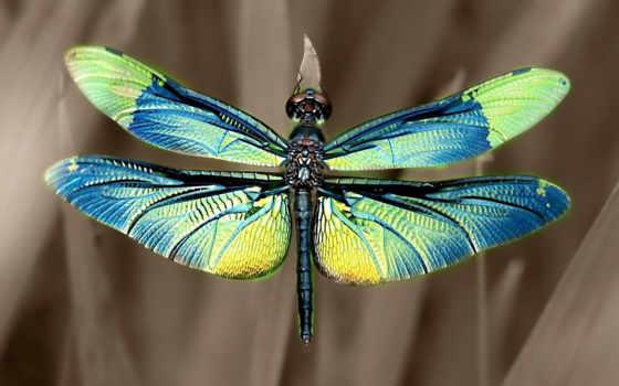 стрекозы, стрекоза, насекомое, youtube, яndex, красивые, стрекоз, очень, назад, virgo, calopteryx,