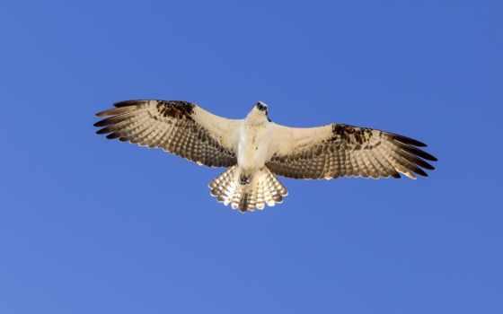 парение, орлан, небо, крылья, zhivotnye, птица, полет, чайка, категории, кайфует, oblaka,