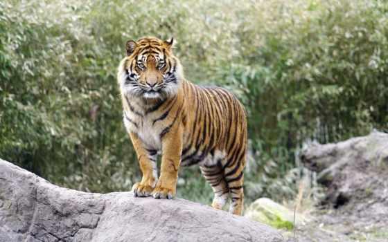 тело, тигр, profile