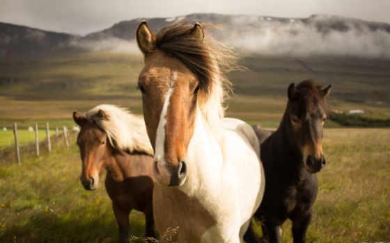лошади, исландские, исландии, навсегда, причин, how, remain, вероятный, планете, дружелюбные, стильные,
