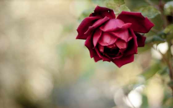 роза, cuma, cvety, стих
