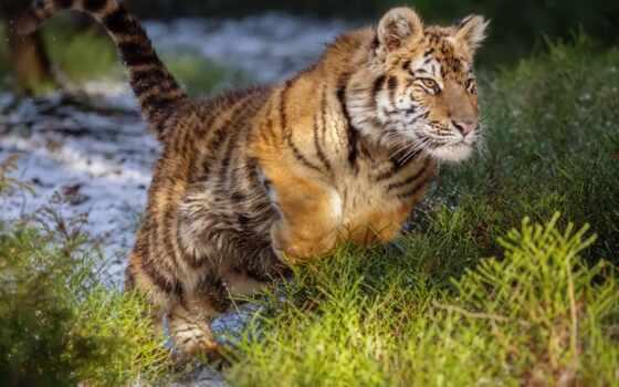 тигр, siberian, прыжок, wild, кот