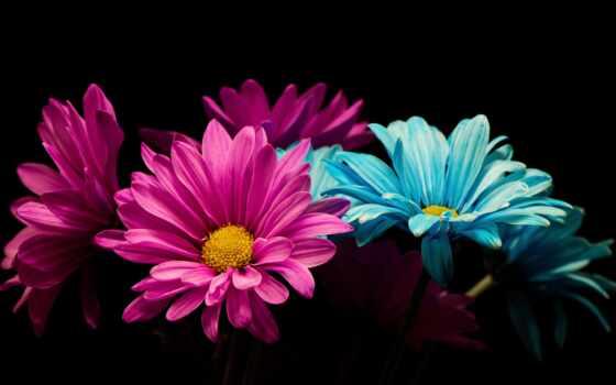 цветы, ромашка, color, лепесток, black, природа, картинка, красивый, роза
