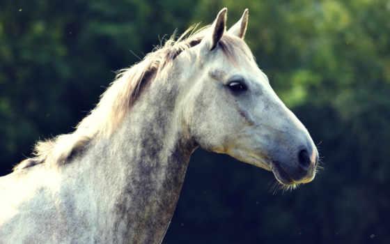 морда, лошадь, profile