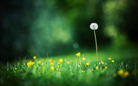 summer, трава, макро, одуванчик, поляна, боке, природа, цветы, фоны, растения, картинка,