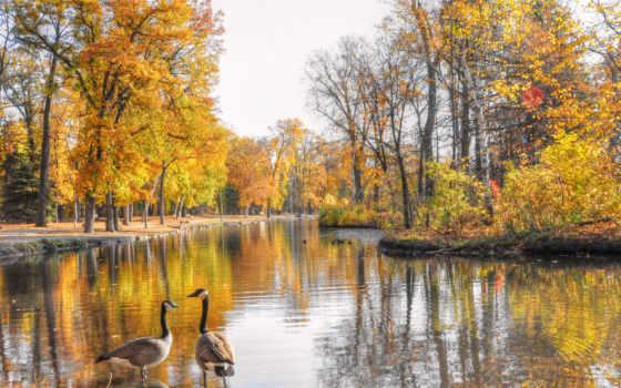 lúd, őszi, foto, táj, vizimadár, kép, desktop,
