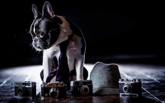 bulldog, собака, french, tie, взгляд, собаки, морда, zhivotnye, красивых,