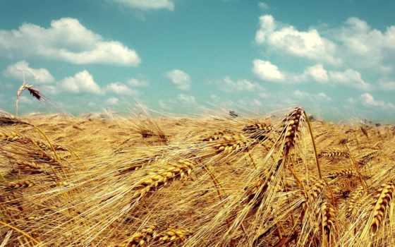 пшеница, desktop, комментарий, золотистый, взгляд, abyss,