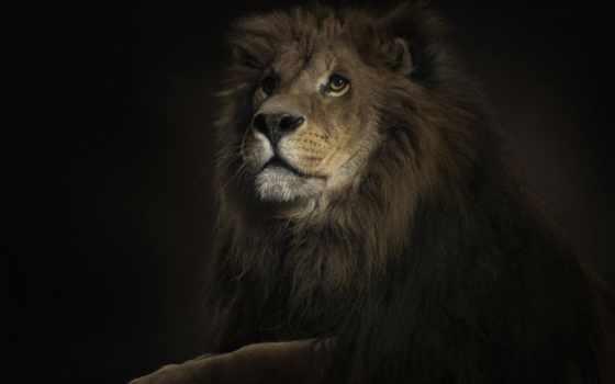 lion, king, черном, fone, зверей, зверь,