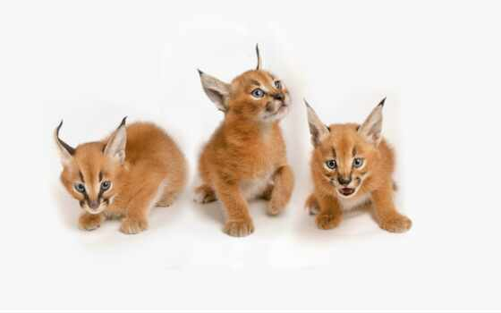 кот, narrow, хороший, caracal, sweetheart, они, котенок, фото, картинка, купить