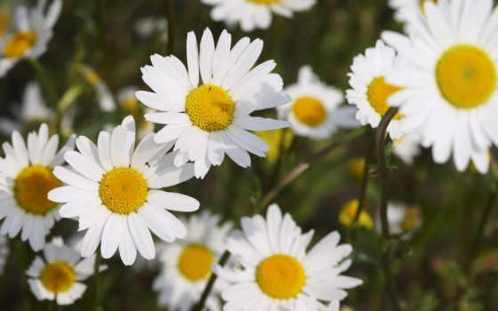 ромашки, много, белоснежные, картинка, daisies, картинку,