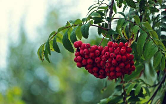 рябина, ягоды, дерево, красные, ветки, плоды, рябины,