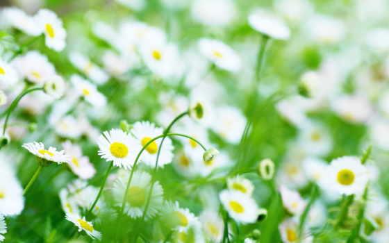 цветы, ромашка, цвета
