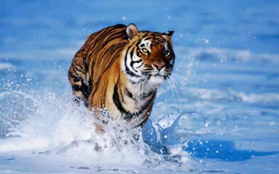 zhivotnye, тигр, воде, running, everything,