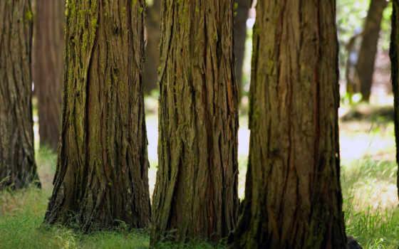 деревьев, стволы, ствол, дерева, природа,