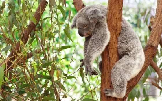 эвкалипт, дерево, эвкалипта, коала, нефть, sleeping, деревьев, янв,