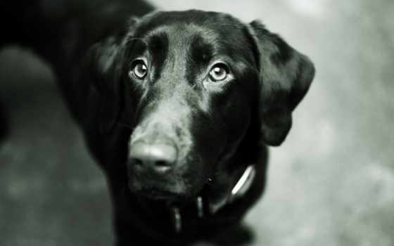 labrador, собака, black, морда, свет, retriever, нос,