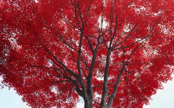 красными, дерево, листьями