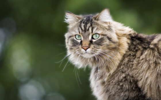 кошки, кошек, кот, коты, взгляд, zhivotnye, тюлень, графика, картинку, pin, пушистый,