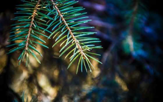 макро, trees, pine, фон, ёль,