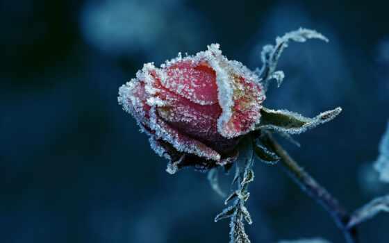 samantha, meglioli, rose, fairy, photography, замёрзший, бутон, природа, розы, макросъемка,