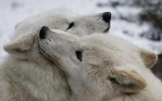 волки, влюбленные,