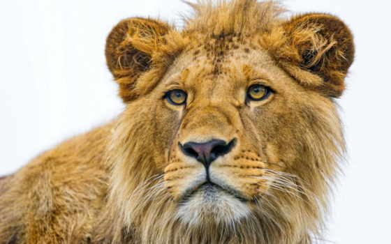 июня, play, lion