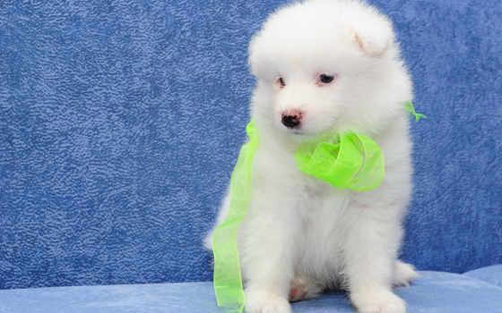 собака, samoyed, white, собаки, щенок, пушистый, bjelkier, stock,
