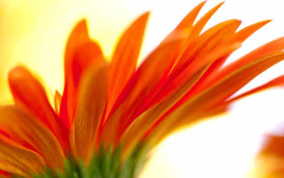 flores, pantalla, fondo, fondos, anaranjadas, para, descargar, con,
