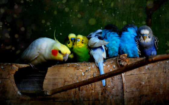 попугаи, попугай