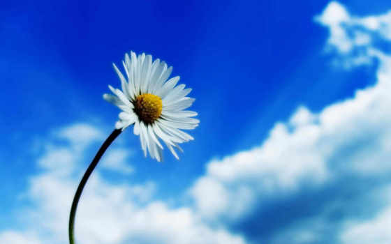 flower, sky, desktop, white, flowers, ромашка, nature, high, spring, download, здравствуйте, background, ipad, resolution,