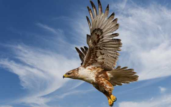 птица, hawk, хищная